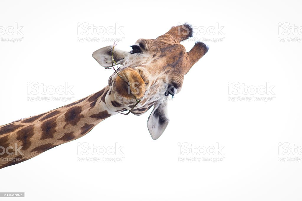 Headshot of a Giraffe with a white background stock photo