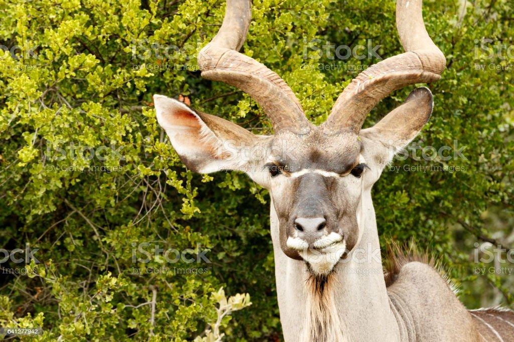 Headshot of a Greater Kudu stock photo