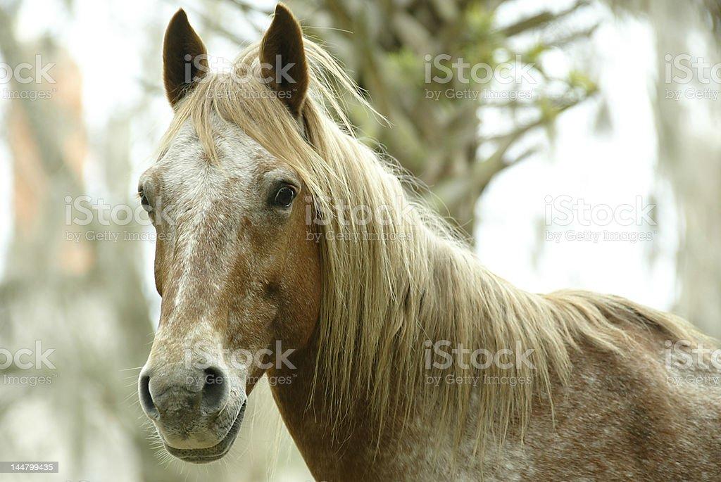 Headshot of a Wild Horse on Cumberland Island Georgia stock photo