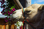 Headshot of Camel