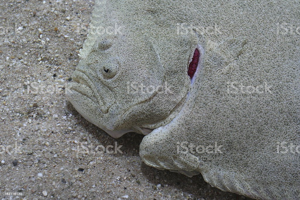 Headshot of flounder's face stock photo