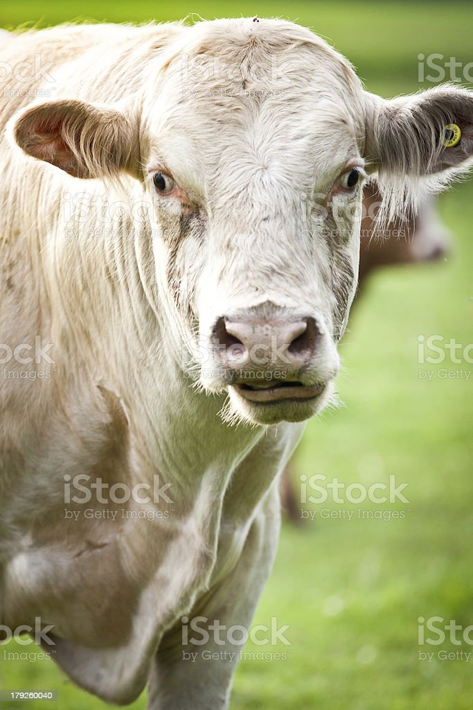 Headshot of Mad Cow staring at the camera royalty-free stock photo