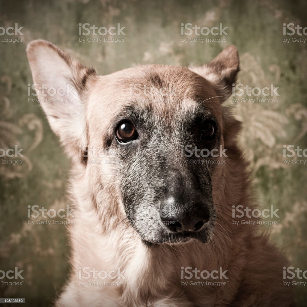Headshot of Mixed Breed Dog Looking Straight Ahead royalty-free stock photo