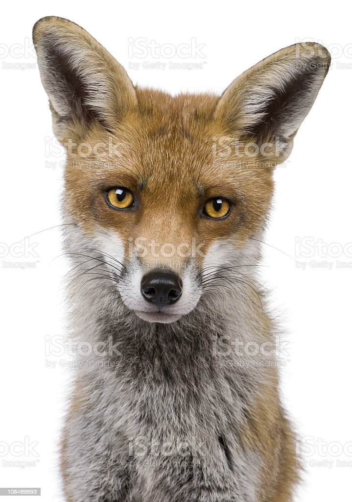 Headshot of red fox on white background stock photo