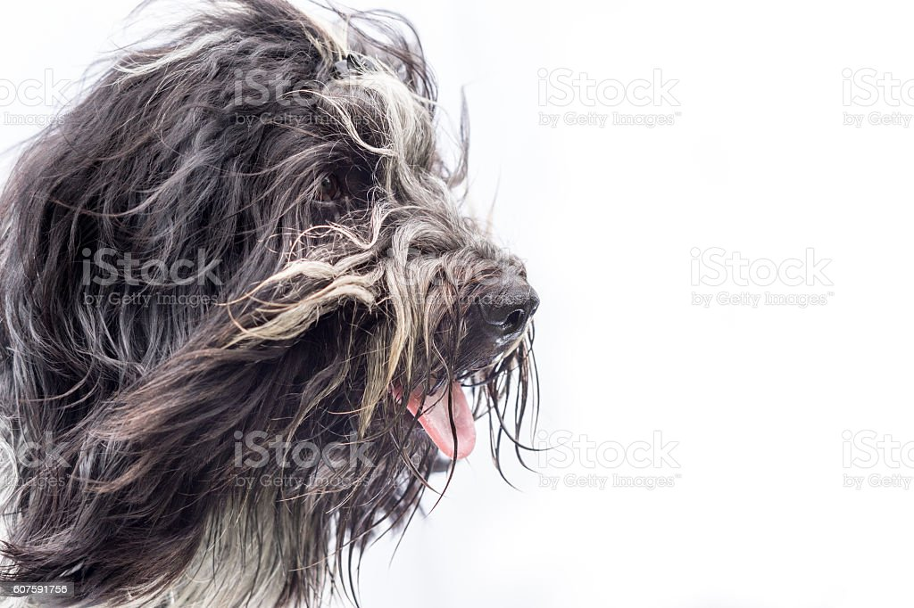 Head-wind profile of a Schapendoes dog stock photo