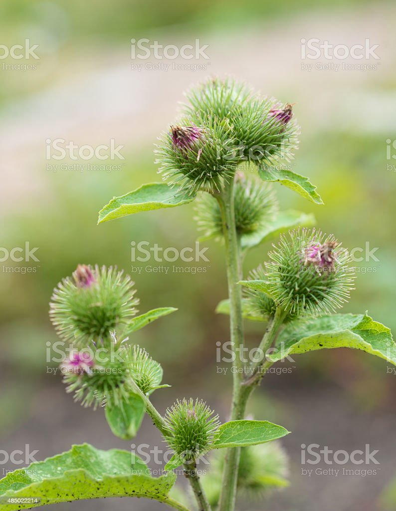 healing herbs - Arctium lappa stock photo