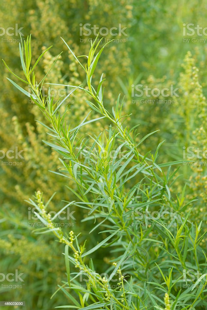 healing herbs - Artemisia dracunculus stock photo
