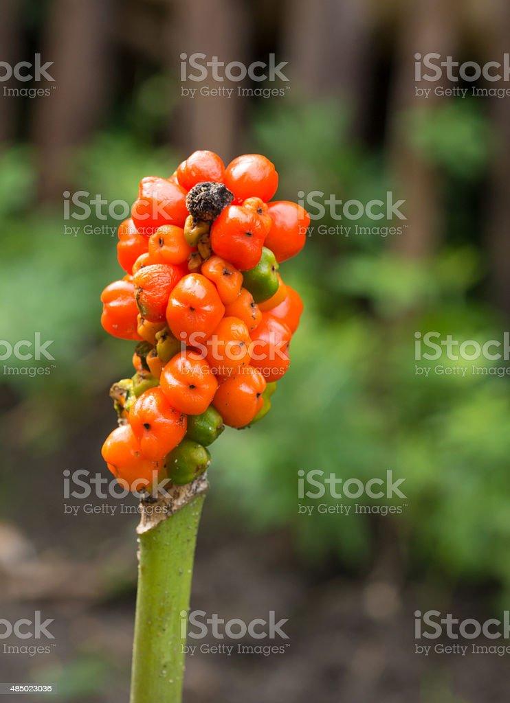 healing herbs - Arum maculatum stock photo