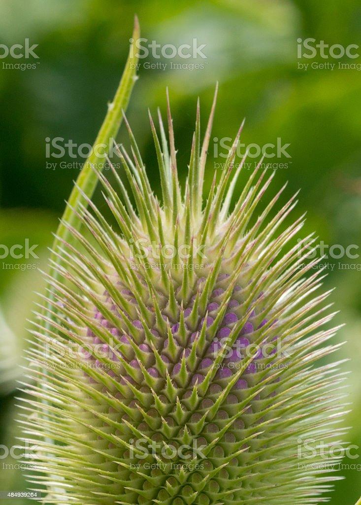 healing herbs - Dipsacus sativus stock photo