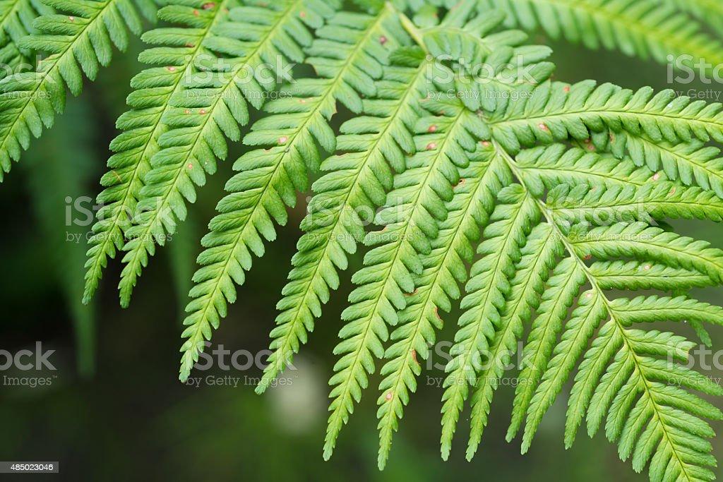 healing herbs - Dryopteris filix-mas stock photo