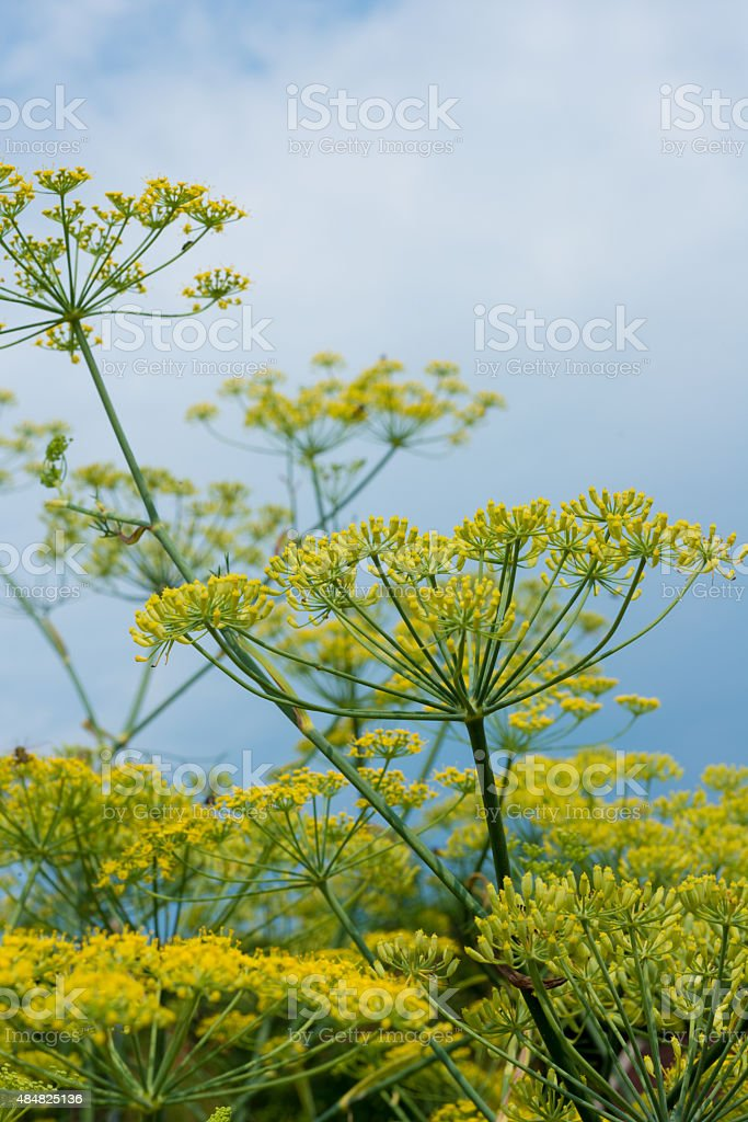 healing herbs - Foeniculum vulgare stock photo