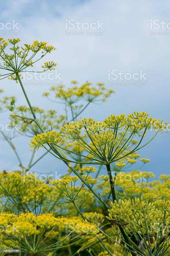 healing herbs - Foeniculum vulgare stock photo