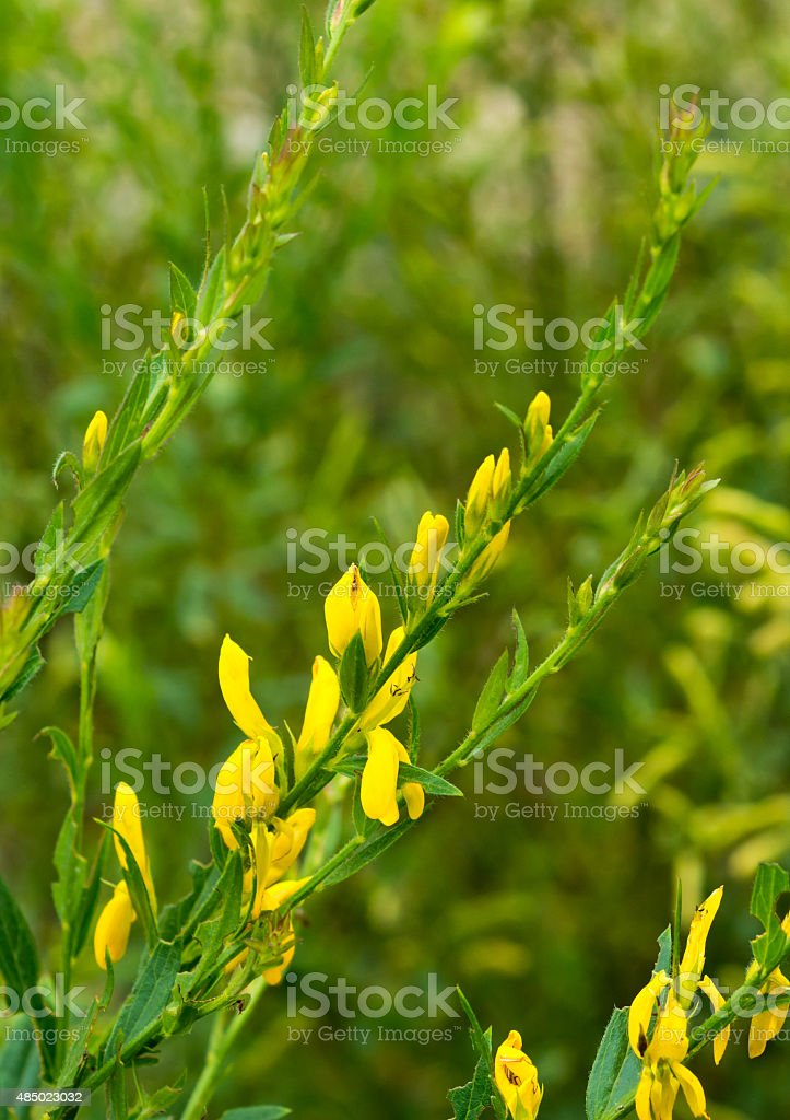 healing herbs - Genista tinctoria stock photo