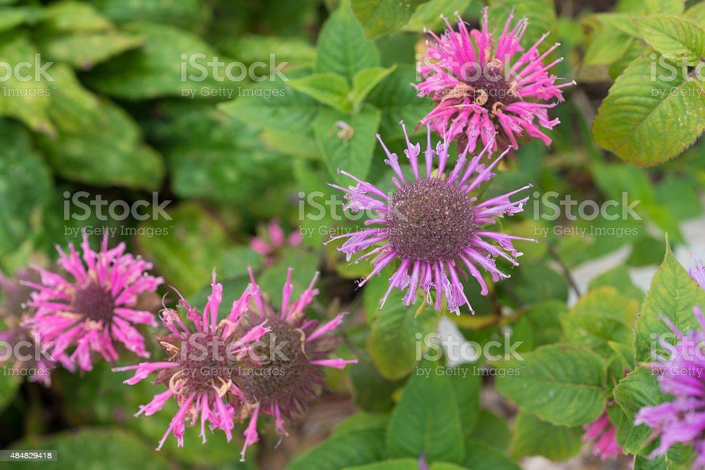 healing herbs - Monarda fistulosa stock photo
