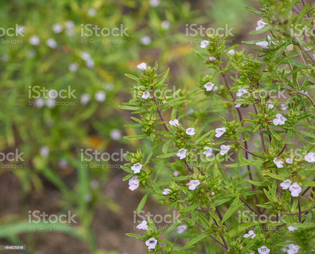 healing herbs - Satureja hortensis stock photo