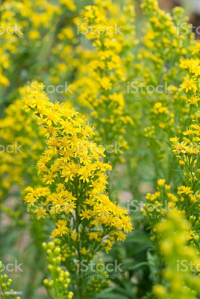 healing herbs - Solidago gigantea stock photo