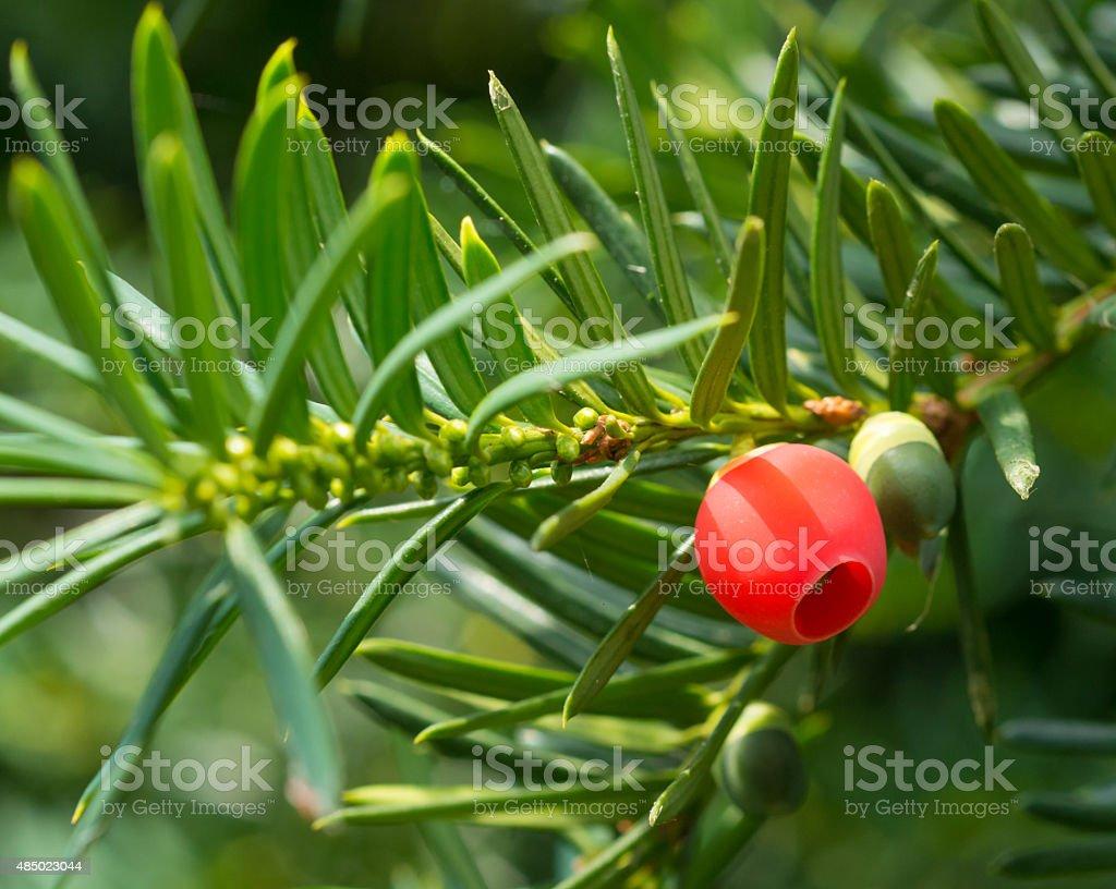 healing herbs - Taxus baccata stock photo