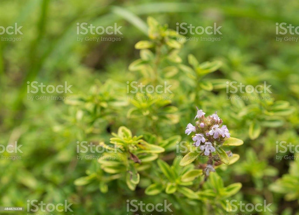 healing herbs - Thymus citriodorus stock photo