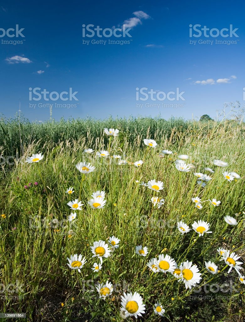 A health crop field with flowers and grasses royalty-free stock photo