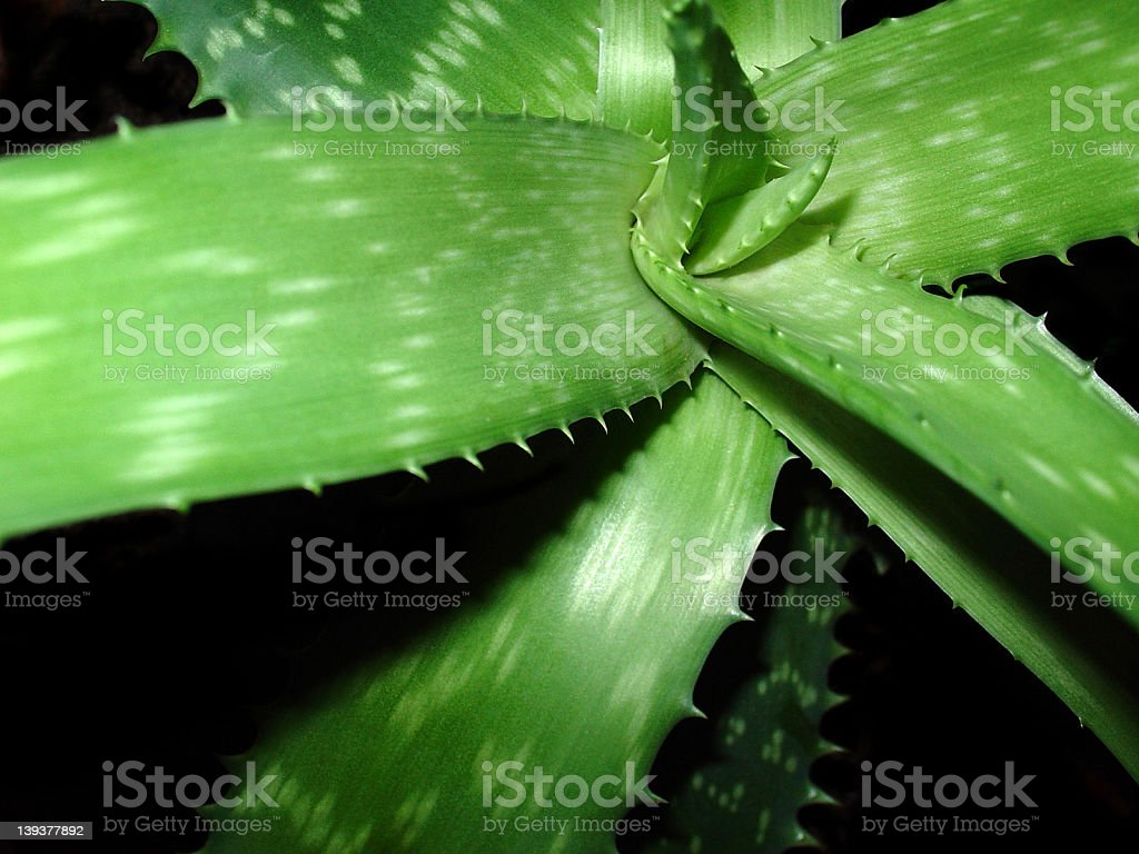 Healthy Aloë Vera Barbadensis Miller Plant royalty-free stock photo