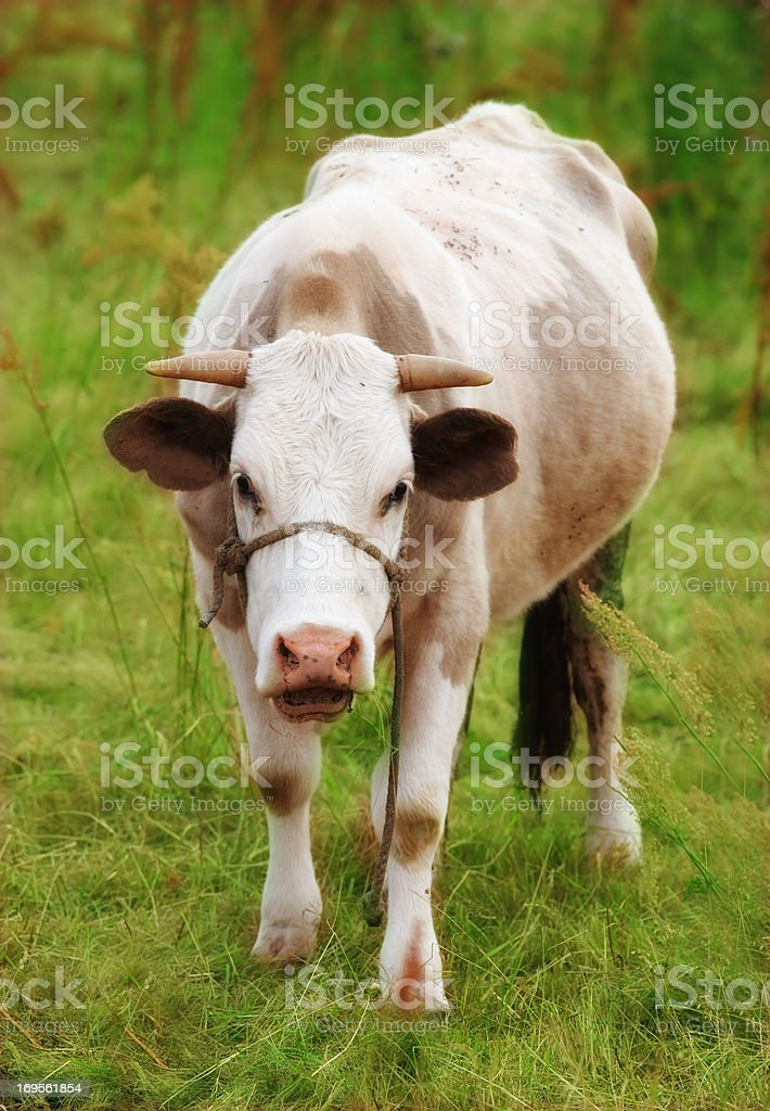 Healthy and well-kept cow stock photo