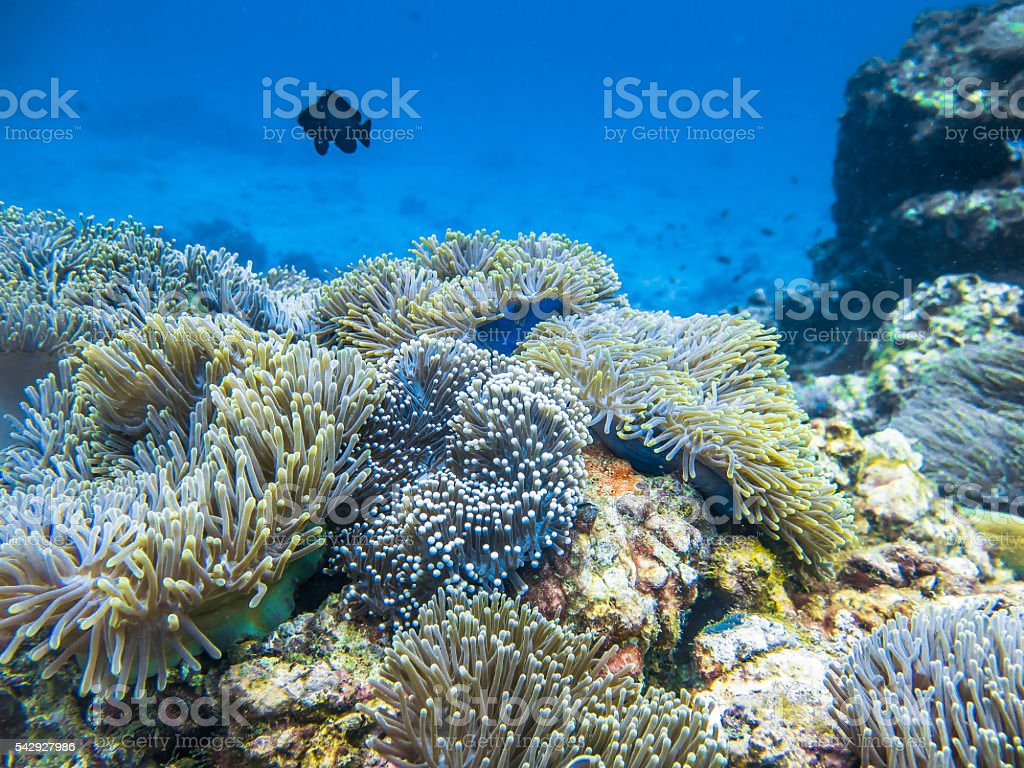 Healthy Anemone Coral Reef and Damsel Fish stock photo