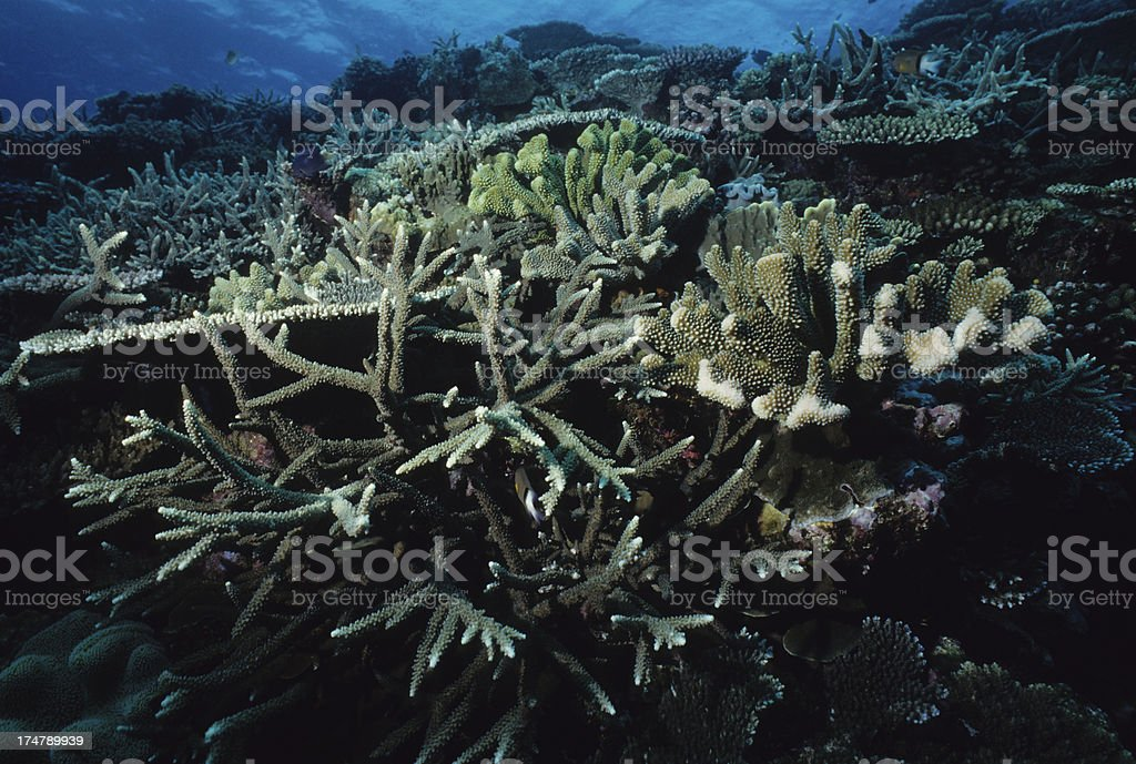 Healthy Coral royalty-free stock photo
