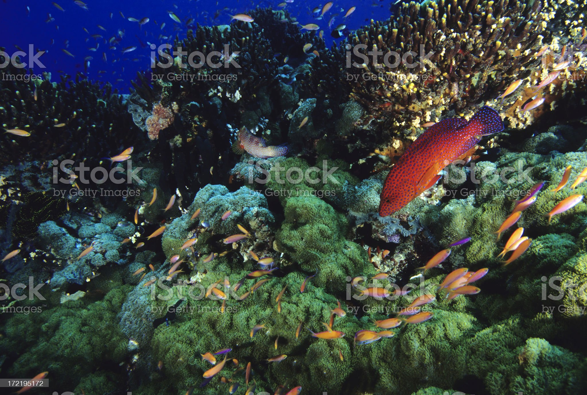 Healthy Coral Reef royalty-free stock photo
