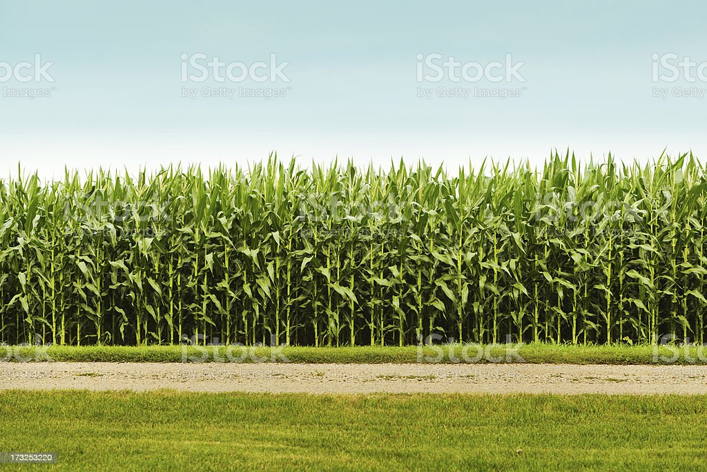 Healthy Corn Crop in Agricultural Field stock photo
