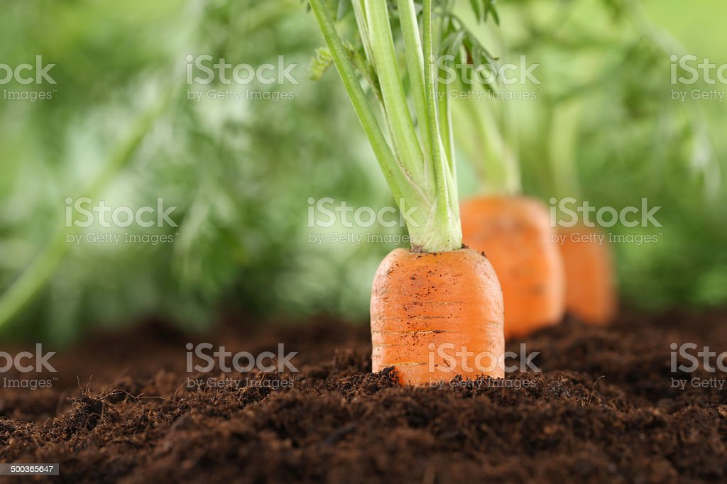 Healthy eating carrots in vegetable garden stock photo