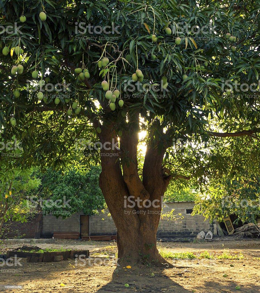 Healthy Food on Mango Tree stock photo
