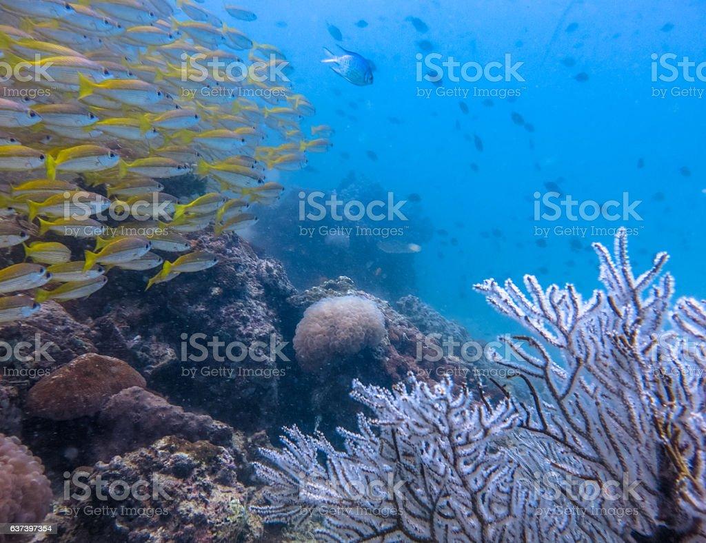 Healthy Gorgonia Coral Reef Tropical School Snapper (Lutjanus lutjanus) Fish stock photo