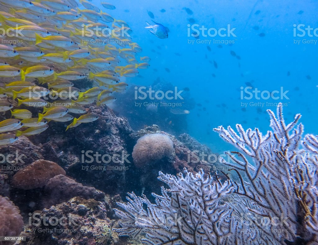 Healthy Gorgonia Coral Reef Tropical School Snapper (Lutjanus lutjanus) Fish stock photo