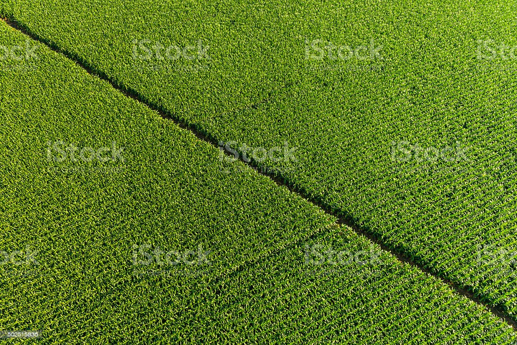 Healthy green maize corn cob crop green field agricultural background stock photo