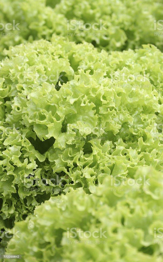 healthy green salad lettuce royalty-free stock photo
