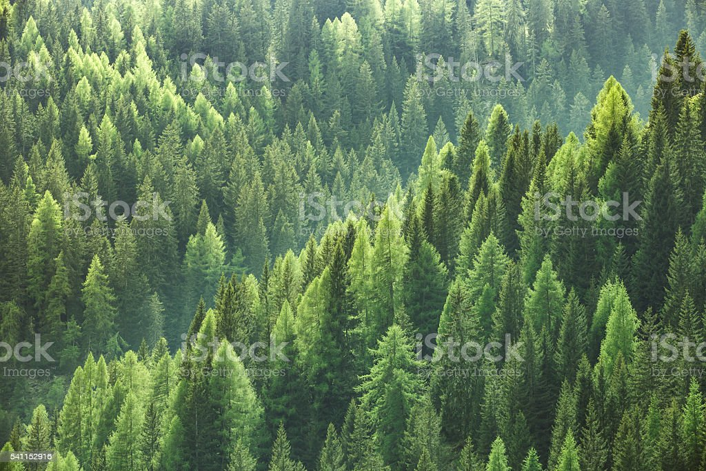 Healthy green trees in forest of spruce, fir and pine stock photo