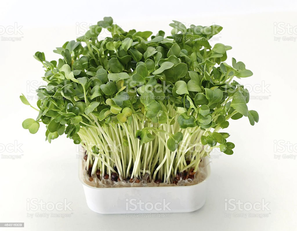 A healthy green water cress in a white flower pot stock photo