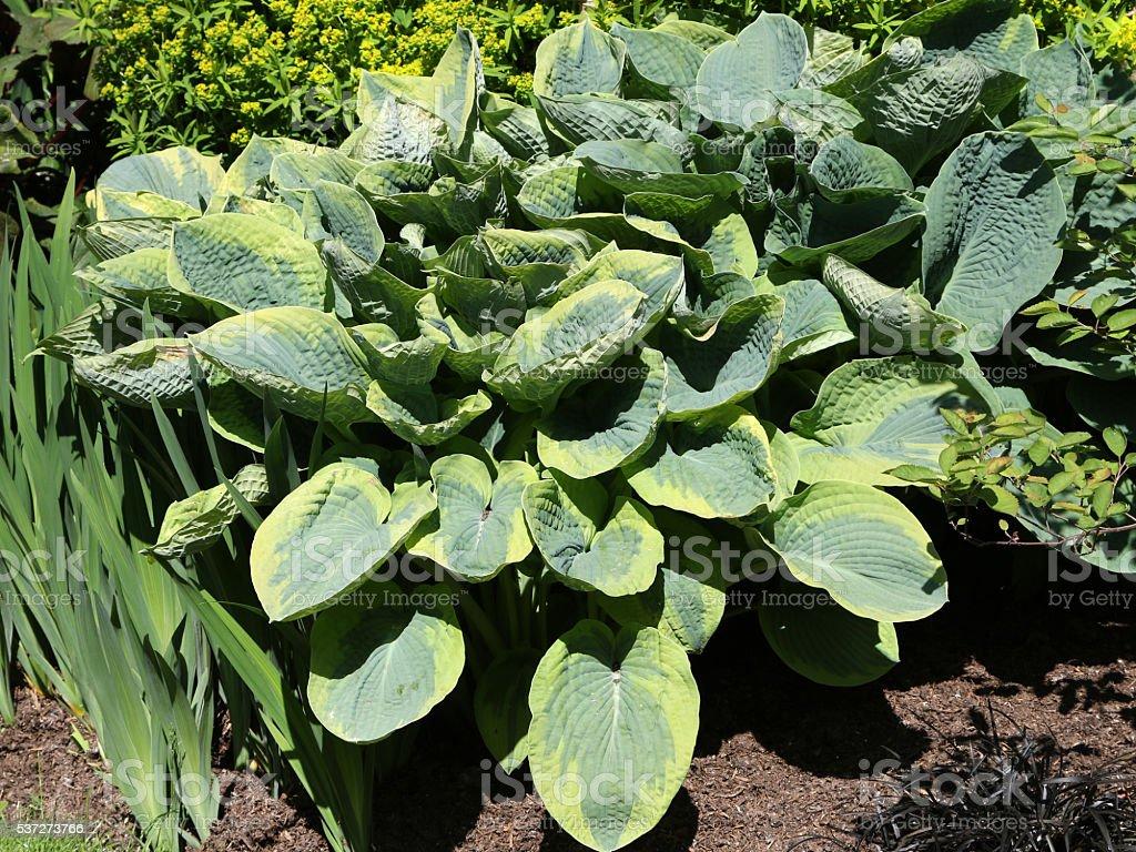 Healthy Hosta in a Garden Border stock photo
