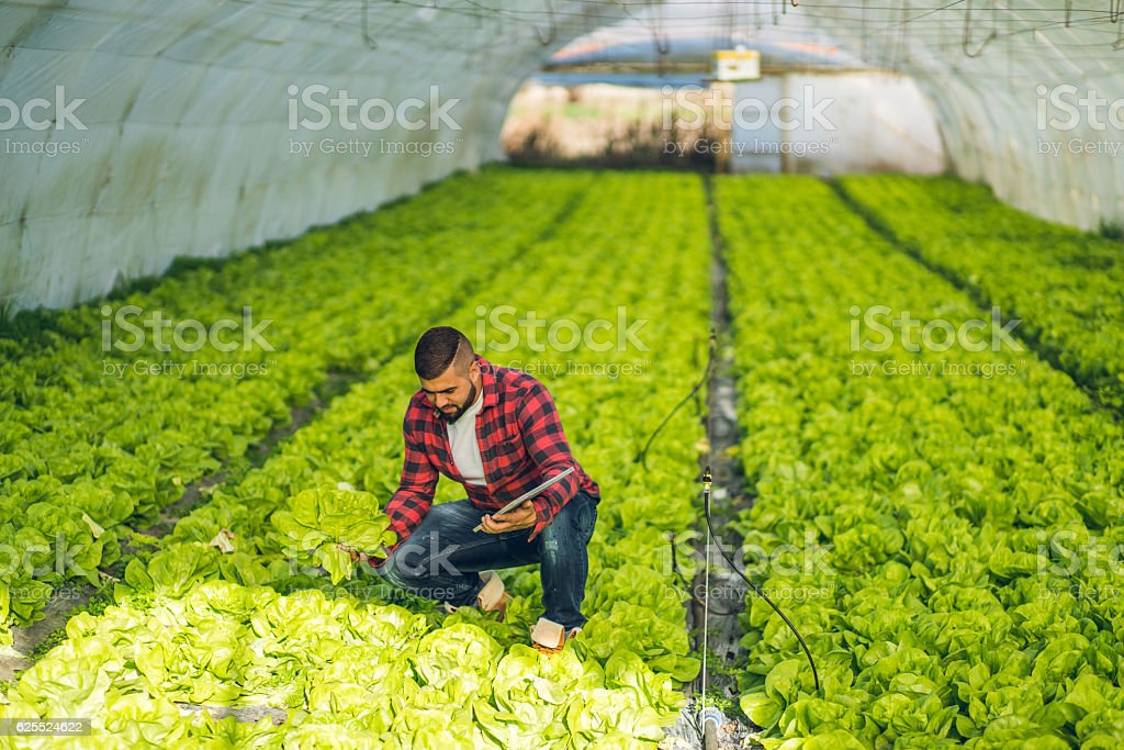 Healthy lettuce stock photo