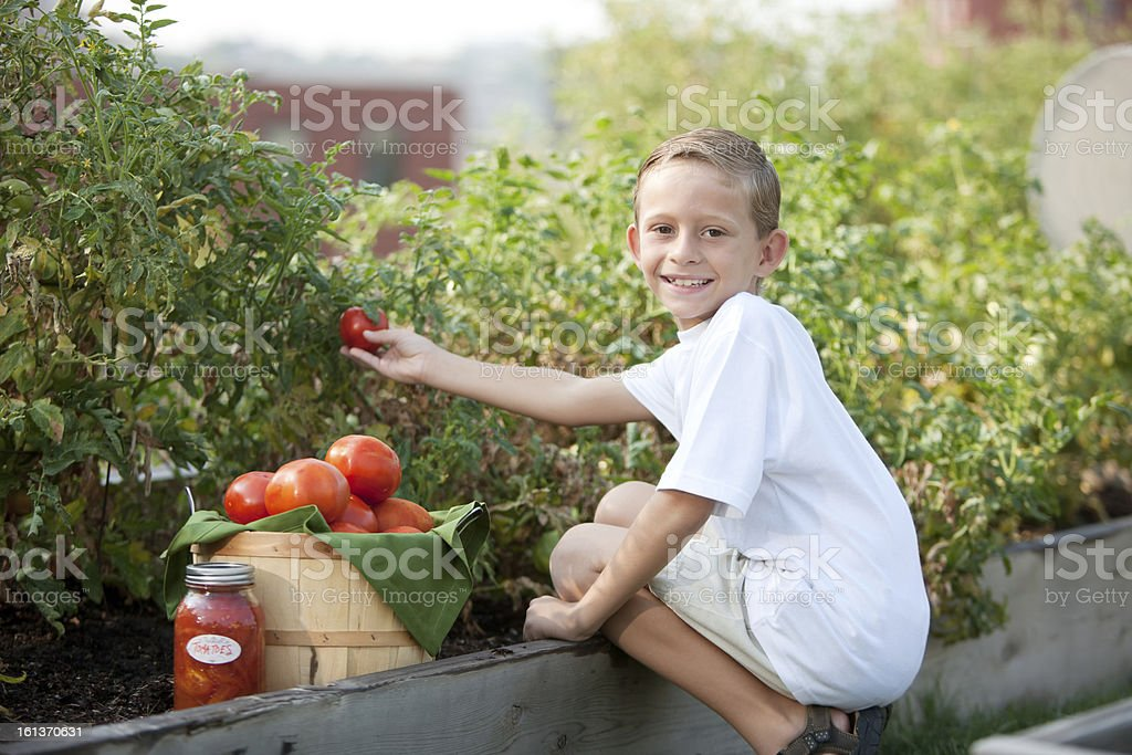 Healthy Lifestyle: Caucasian Little Boy Picking Homegrown Tomatoes for Preserving royalty-free stock photo