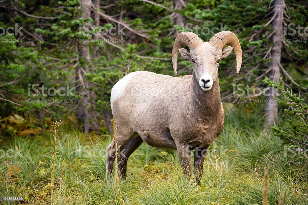 Healthy Male Bighorn Sheep Wild Animal Montana Wildlife stock photo