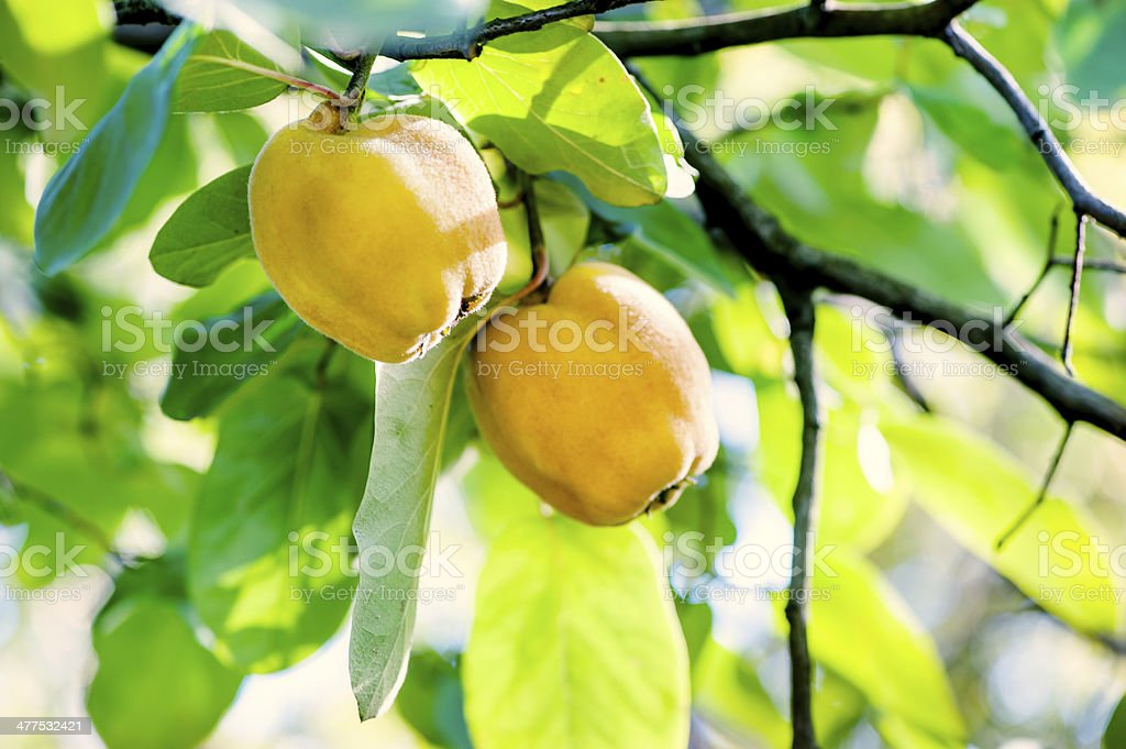 healthy quicens on local tree in garden on agriculture field stock photo