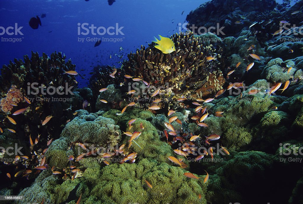 Healthy Reef with Anthias and Damselfish stock photo
