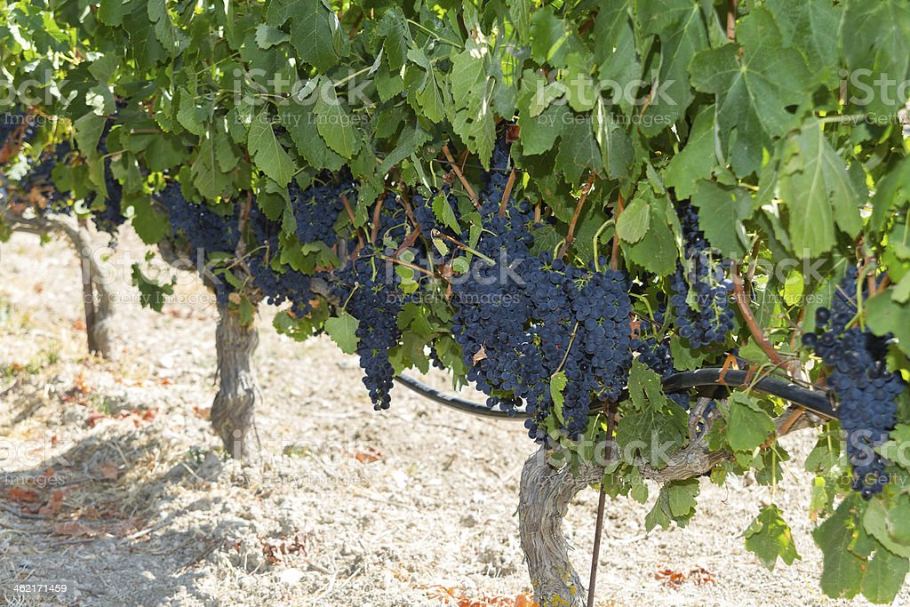Healthy ripe sweet and juicy red wine grapes. stock photo