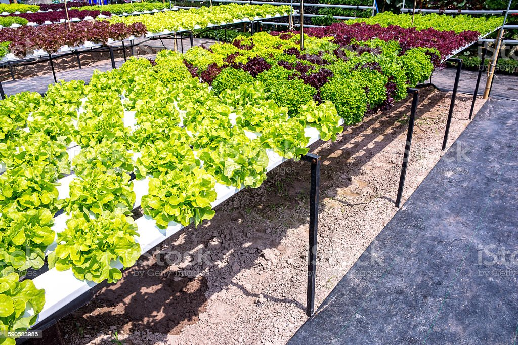 Healthy salad vegetable garden,Hydroponic salad vegetables stock photo