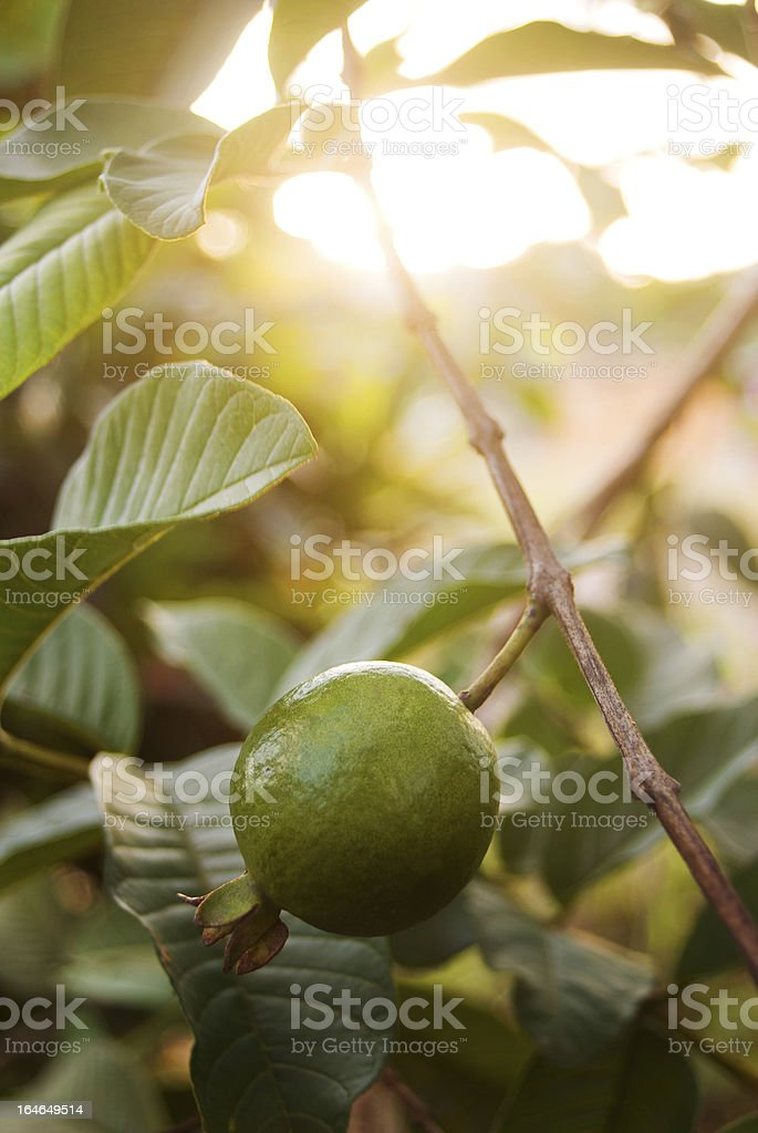 healthy tropical fruit; guava in tree at sunset stock photo