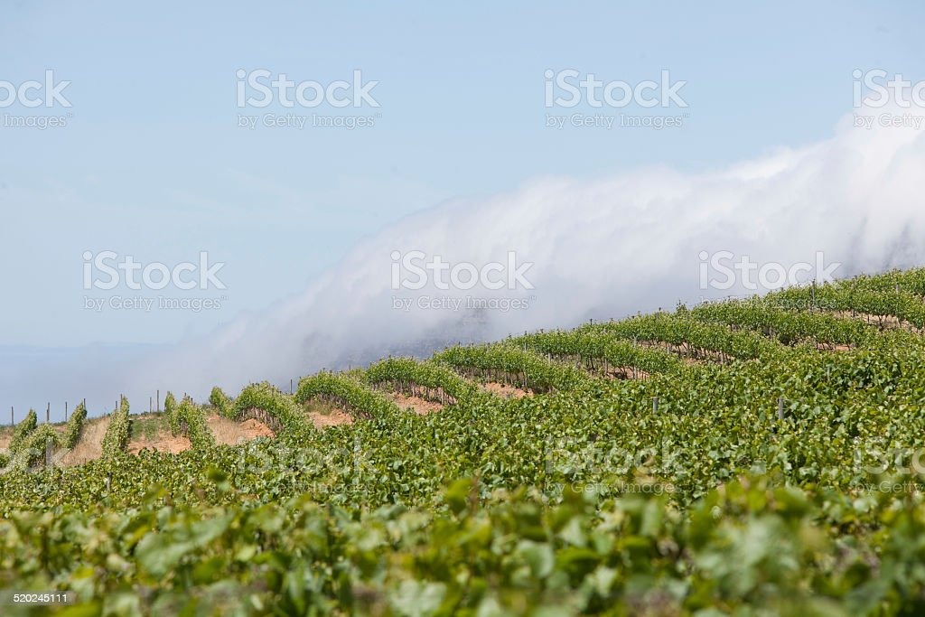 Healthy vines in a vineyard stock photo