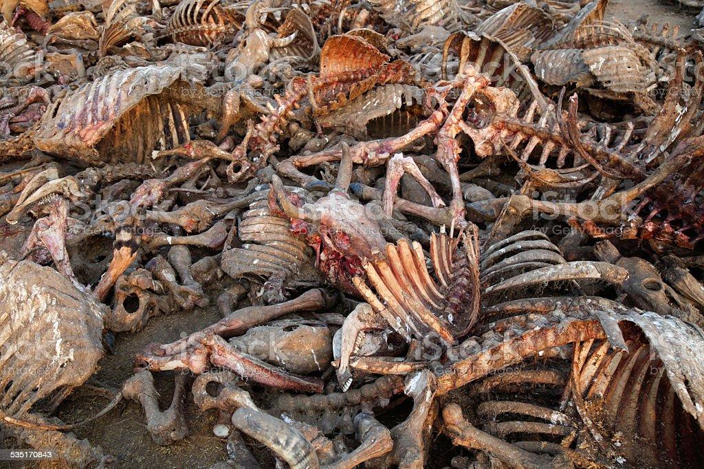 Heap of Dead Animal Bones Outdoor.