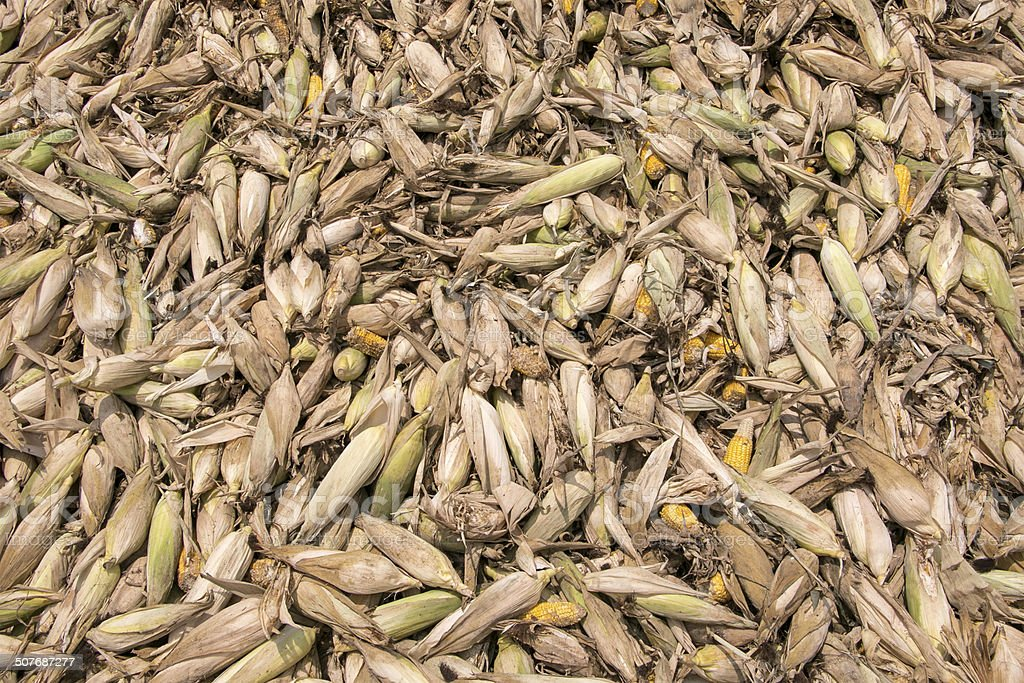 Heap of moldy and rotten corns stock photo