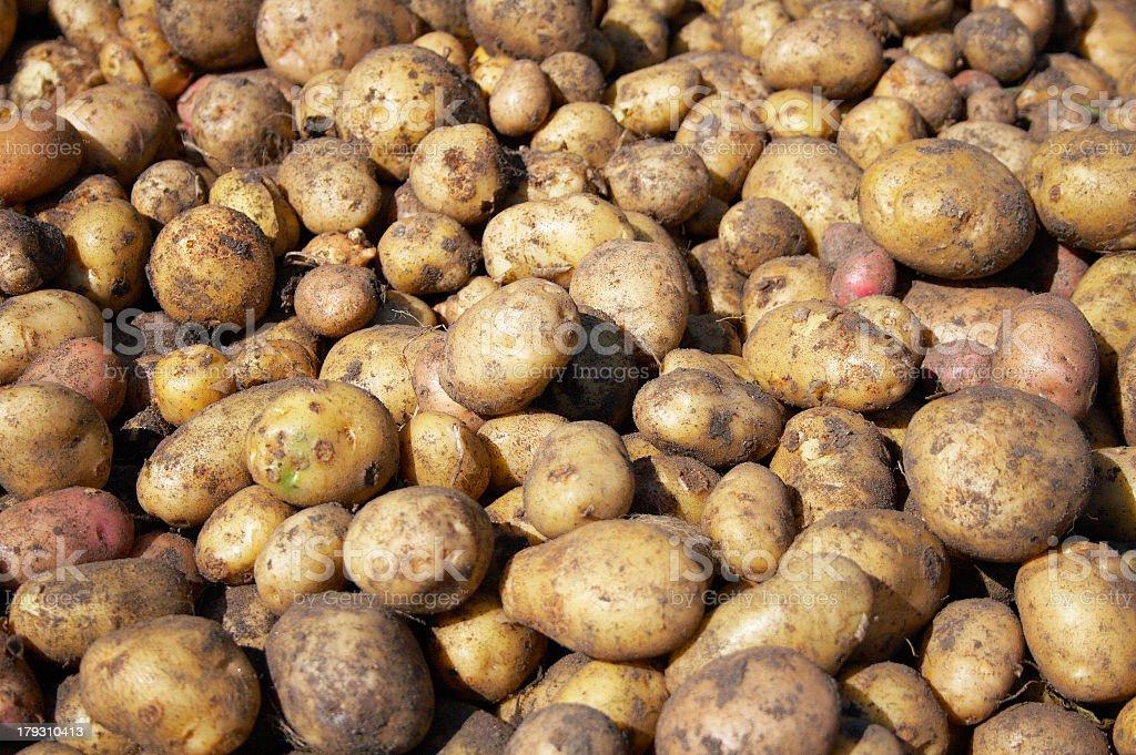 heap of new raw potatoes royalty-free stock photo